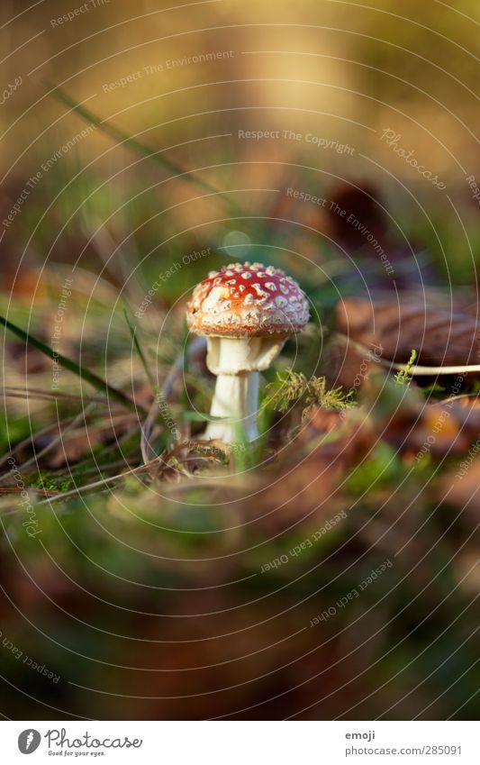 der kann ja gar nicht fliegen :( Natur grün Pflanze rot Umwelt Herbst natürlich Erde Schönes Wetter Pilz Waldboden Fliegenpilz