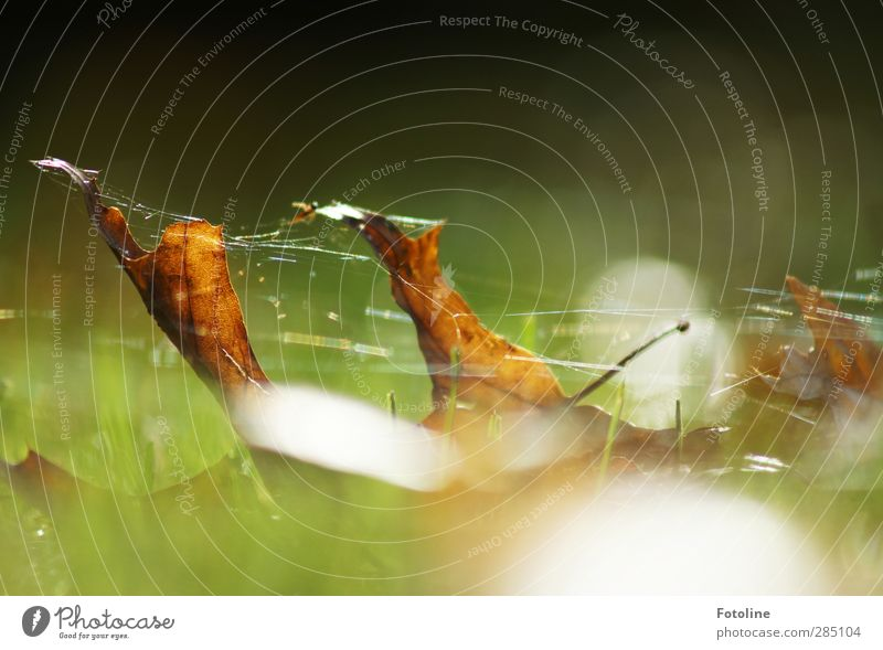 eingesponnen Umwelt Natur Pflanze Herbst Blatt Wiese hell nah natürlich braun grün herbstlich Herbstlaub Spinngewebe Spinnennetz Farbfoto mehrfarbig