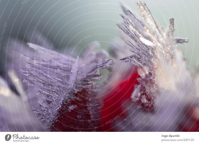 kalte Stacheln Umwelt Natur Urelemente Winter Wetter Eis Frost Pflanze Blume Jahreszeiten Eiskristall Raureif Klima frieren gefroren Außenaufnahme Menschenleer