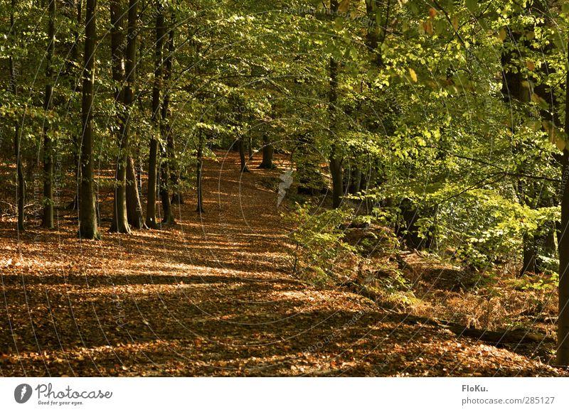 leuchtender Wald wandern Umwelt Natur Landschaft Pflanze Sonnenlicht Herbst Schönes Wetter Baum Blatt Grünpflanze natürlich braun grün Spaziergang Wege & Pfade