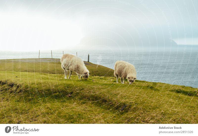 Schafweide im Hochland Weide Mittelgebirge Landschaft Landwirtschaft Schafherde Natur Bauernhof Vieh Sommer Ackerbau grün Umwelt Tier Wiese ländlich