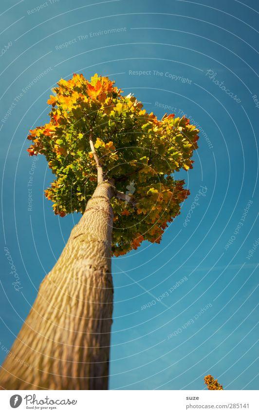 Herbstkrönung Umwelt Natur Pflanze Himmel Wolkenloser Himmel Klima Wetter Schönes Wetter Baum ästhetisch groß hoch schön blau herbstlich Herbstbeginn Herbstlaub