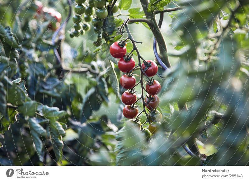Sommer Lebensmittel Gemüse Ernährung Bioprodukte Vegetarische Ernährung Garten Pflanze Nutzpflanze Fitness Wachstum natürlich saftig grün rot Erfolg Tomate reif