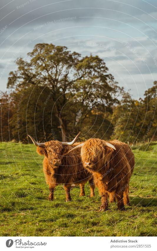 Viehweide auf grünem Boden Weide Kuh Grasland Morgen Bulle Rind Wiese Bauernhof Landschaft Sommer natürlich Farbe Feld Landwirtschaft Ackerbau Aussicht Länder