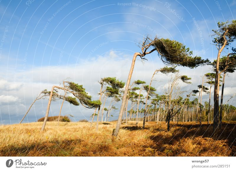 Windflüchter I Ferien & Urlaub & Reisen Natur Landschaft Pflanze Herbst Schönes Wetter Baum Gras Wald Küste Ostsee Insel Halbinsel Darß Küstenwald blau braun