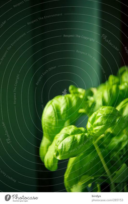 frischer Basilikum Kräuter & Gewürze Bioprodukte Italienische Küche Nutzpflanze Topfpflanze ästhetisch Duft grün genießen Vor dunklem Hintergrund Basilikumblatt