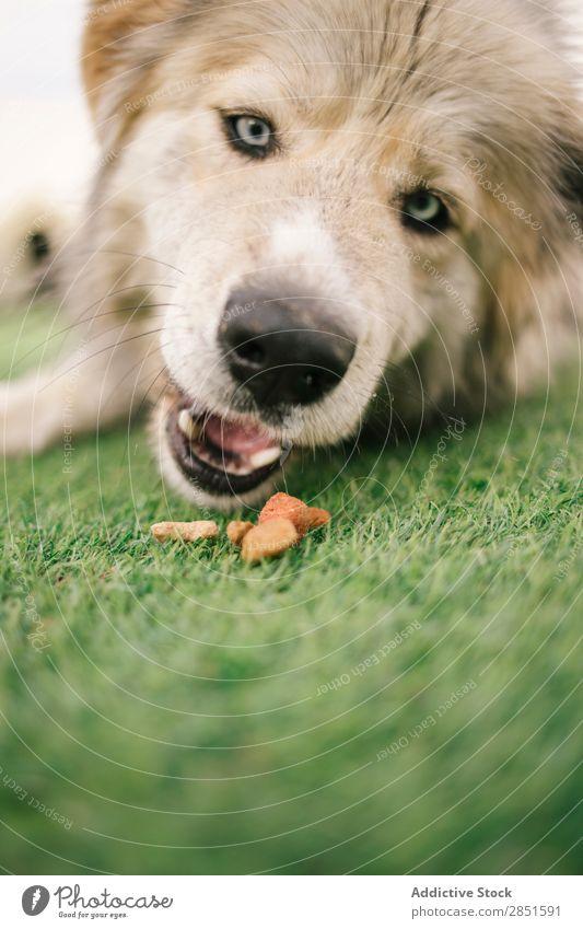 Süßer Hund mit blauen Augen groß Rasen niedlich blaue Augen Haustier Tier Gras heimisch Säugetier grün Freundschaft Natur reizvoll Aktion Jagdhund Wiese züchten