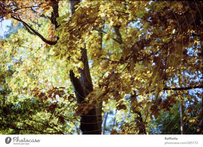 Blattgold Himmel Natur Pflanze Baum gelb Umwelt Herbst braun leuchten Urelemente fallen Baumstamm Herbstlaub herbstlich