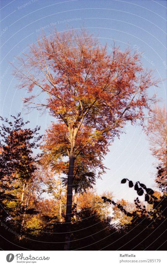 Red Eye Umwelt Natur Herbst Pflanze Baum Blatt blau rot Himmel Wolkenloser Himmel Baumkrone Baumstamm Laubbaum Laubwald Herbstlaub herbstlich Herbstwetter