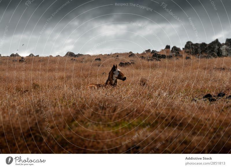 Wilde Pferde im Nebel amerika Anden Tier braun Chile Wolken dunkel Ostern Geschwindigkeit Feld Gras grün Herde Landschaft Säugetier Wiese Berge u. Gebirge