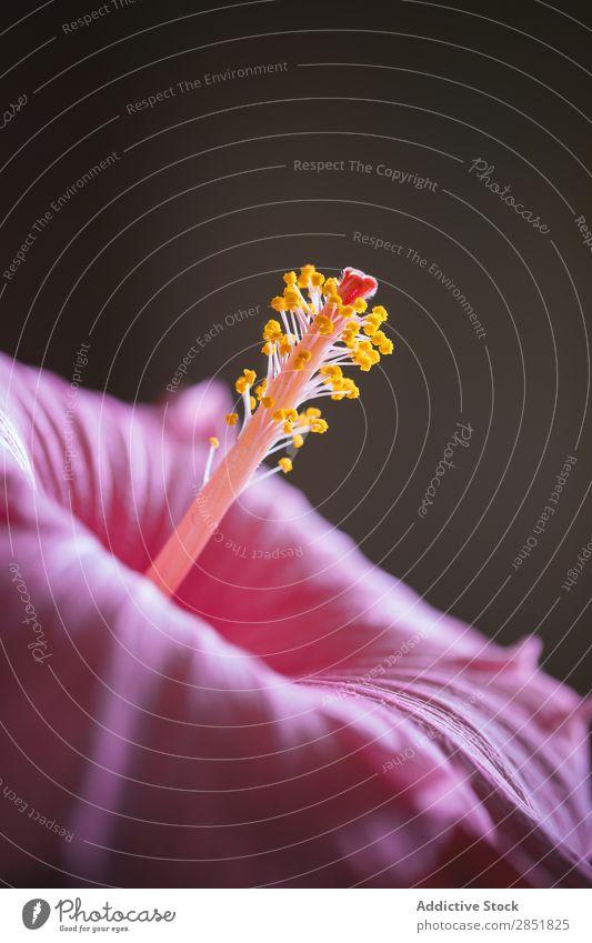 Nahaufnahme rosa Blume Hibiscus schließen nach oben Staubfäden Makroaufnahme Licht Natur schön Hintergrundbild tropisch Pflanze Garten Blüte schwarz Pollen hell