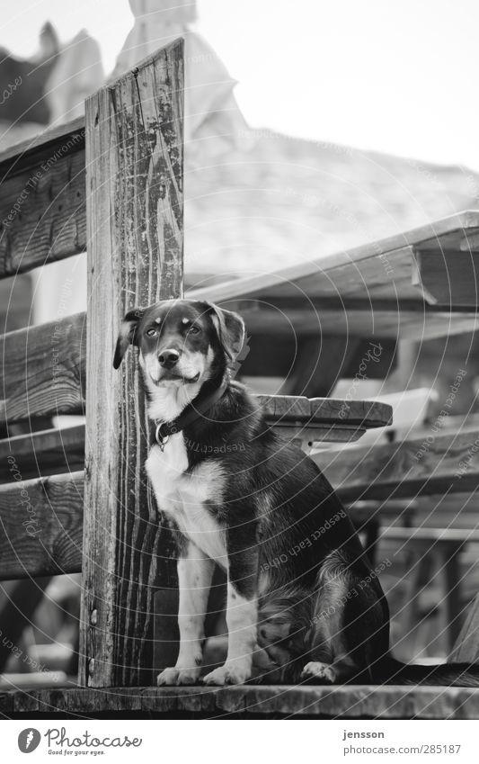 Mein Partner mit der kalten Schnauze Hund Natur Tier ruhig Umwelt Holz sitzen warten Coolness Sicherheit beobachten Bank Fell Schutz Vertrauen Zaun