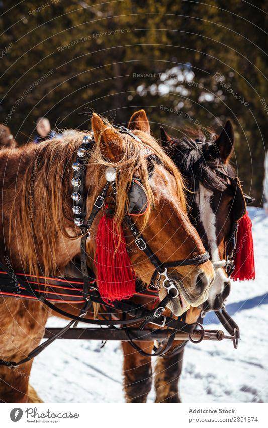 Porträt von Pferden im Schnee Tier Winter weiß Natur Kopf Bauernhof Hintergrundbild schön Säugetier kalt Beautyfotografie Hengst Feld Wald Außenaufnahme