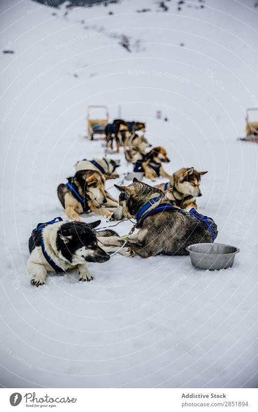 Hundeschlittenfahrt Schlitten Husky Rodeln Lappland Finnland Winter Abenteuer Schnee Rennsport weiß Team Teamwork Tier sibirisch Natur Ferien & Urlaub & Reisen
