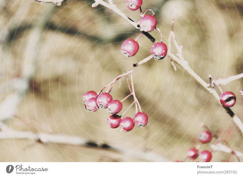 Vogelbeeren Natur Pflanze rot Winter Umwelt kalt klein hell Gesundheit natürlich Frucht Kraft wild frisch Sträucher Schönes Wetter