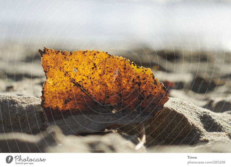 Herbstblatt im Gegenlicht am Strand Umwelt Sonnenlicht Schönes Wetter Blatt Küste Flussufer gelb grau herbstlich Herbstlaub einzeln Sandstrand durchscheinend
