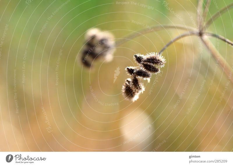 Getrocknete Dolde Natur grün Pflanze Landschaft gelb Umwelt Wiese Herbst Gras braun gold glänzend Sträucher Schönes Wetter trocken hängen