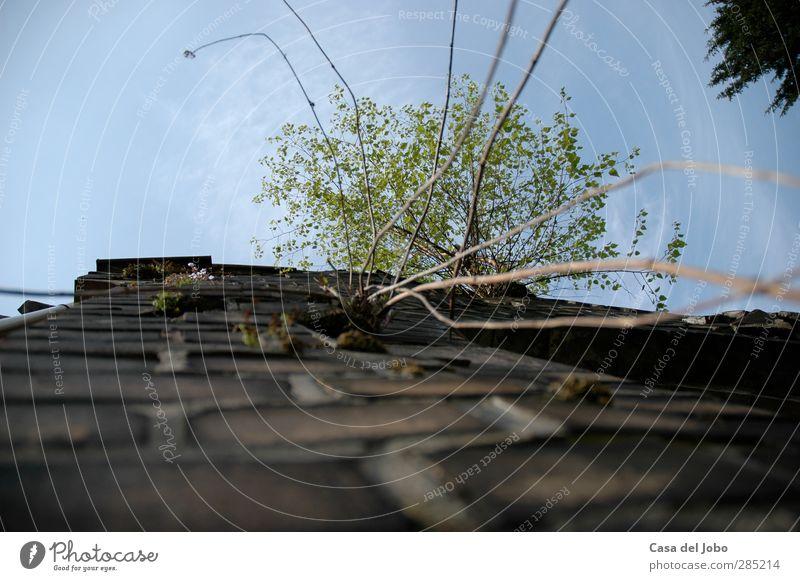 perennial plant Umwelt Natur Himmel Wolken Schönes Wetter Pflanze Baum Grünpflanze Ruine Mauer Wand Schornstein Backstein authentisch außergewöhnlich