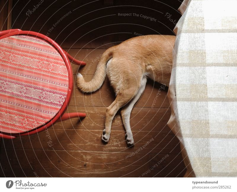 Russischer Küchenhund Hund rot Tier ruhig Erholung Gefühle Holz Denken träumen braun liegen natürlich Warmherzigkeit Kreis schlafen einfach