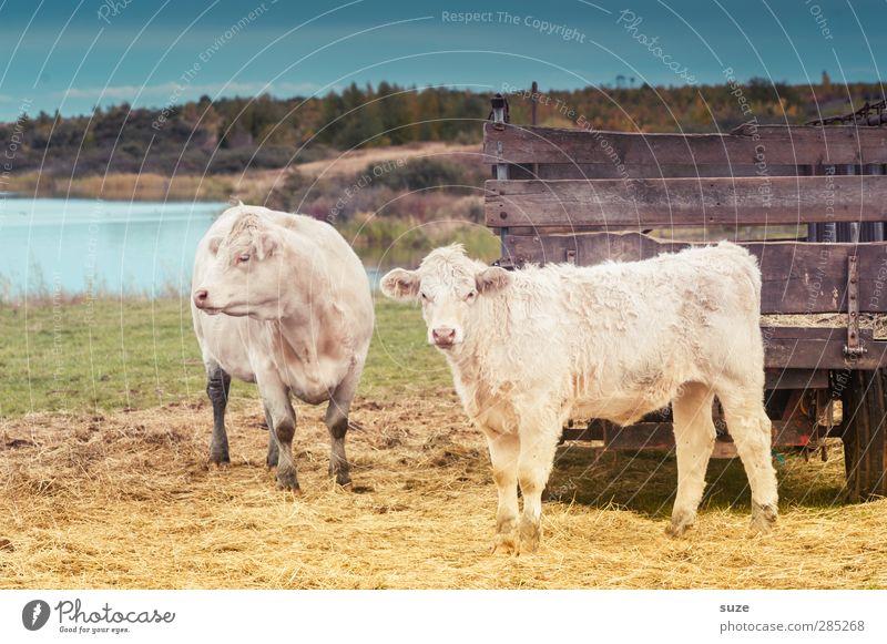 Fleckenfrei Umwelt Natur Tier Himmel Sommer Wiese Seeufer Lastwagen Anhänger Nutztier Kuh 2 Tierjunges authentisch natürlich niedlich schön Landleben