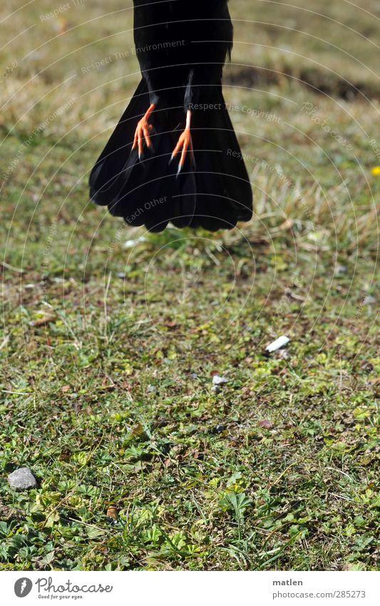 Endlich Nichtraucher Tier Herbst Gras Vogel 1 grün schwarz abheben wegfahren Füße Dohle Zigarette Farbfoto Außenaufnahme Textfreiraum unten Tag