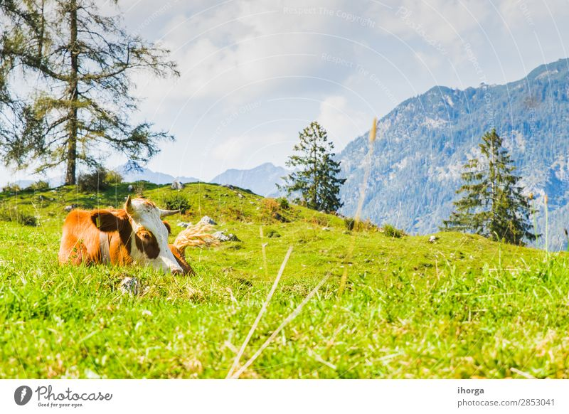 Kühe auf den grünen Wiesen der Alpen schön Sommer Berge u. Gebirge Natur Landschaft Tier Himmel Baum Gras Hügel Nutztier Kuh 1 Fressen blau braun weiß alpin