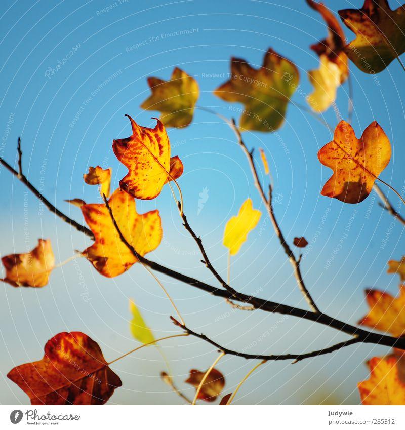 Herbstgruß Natur blau Farbe rot Blatt gelb Tod orange Ast Vergänglichkeit Wandel & Veränderung Jahreszeiten Verfall Quadrat Ahornblatt