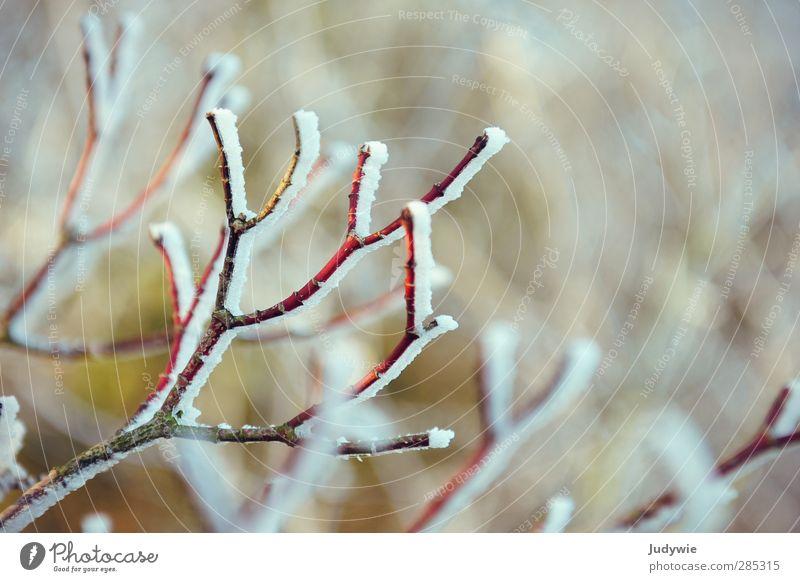 Wintergruß Natur weiß Pflanze Baum rot Winter kalt Schnee Schneefall Wachstum Ast Frost Jahreszeiten Zweig reif kahl