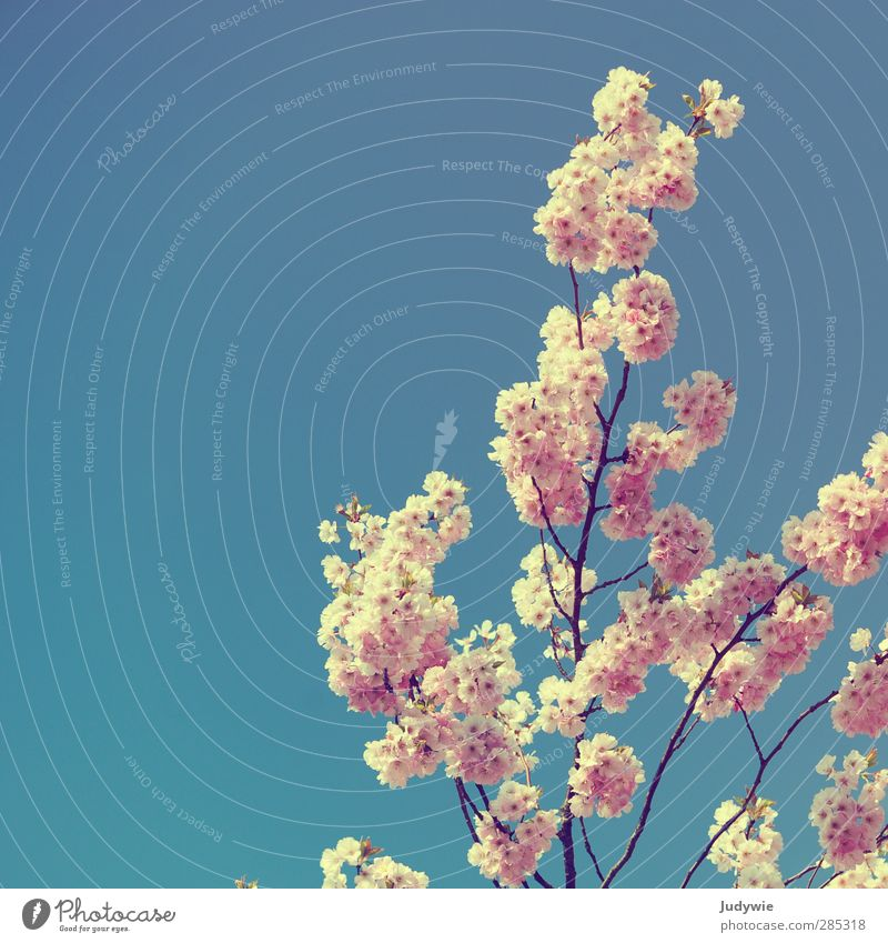Frühlingsgruß Natur blau schön Pflanze Blüte hell rosa Wachstum Wandel & Veränderung Ast Blühend Jahreszeiten zart Blauer Himmel Kirschblüten