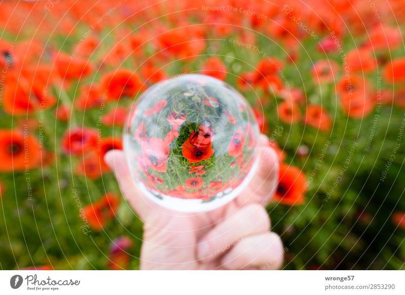 Mohnfeld in der Glaskugel Natur Sommer Pflanze grün rot Blüte Feld Nutzpflanze Querformat Mohnblüte
