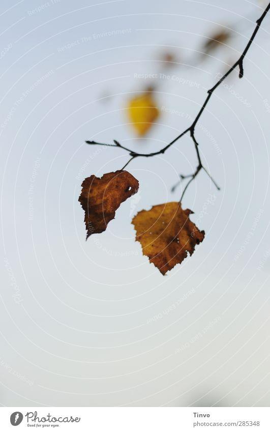 gemeinsam abhängen Natur blau Pflanze Baum Blatt gelb Herbst braun paarweise Schönes Wetter Wandel & Veränderung einfach Zweig Herbstlaub Wolkenloser Himmel vertrocknet