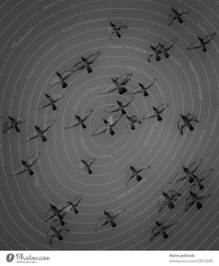Formation Tiergruppe fliegen Luft Fliege Vogel Taube Schwarzweißfoto Außenaufnahme Menschenleer Tag