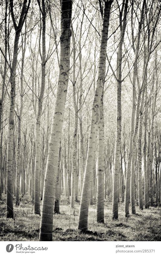 Birkenwald in Schwarzweiß Hochformat Natur Ferien & Urlaub & Reisen Pflanze Baum ruhig Landschaft schwarz Erholung Wald Umwelt Gras träumen Zufriedenheit