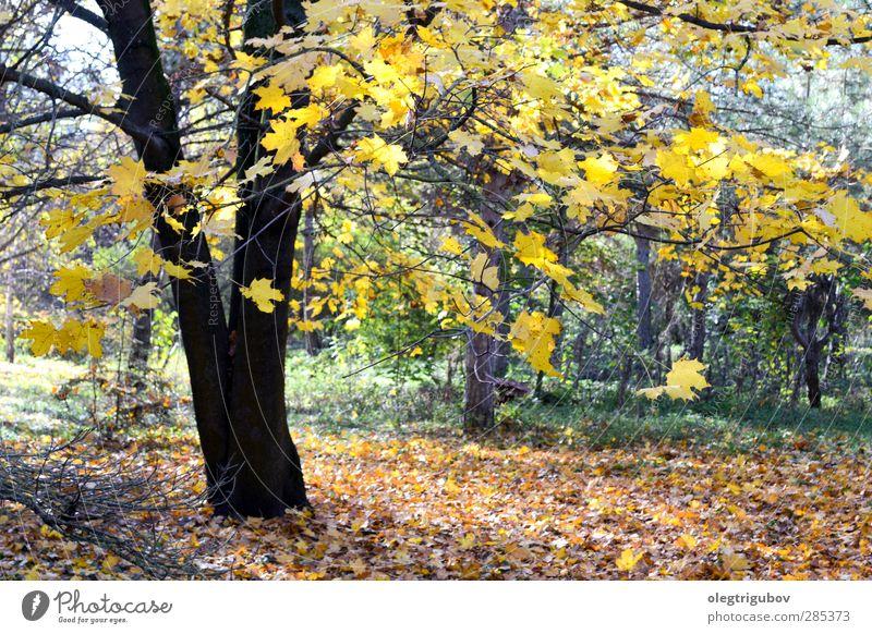 der Baum ist bereit für den Winter Natur Pflanze Herbst Blitze Gras Blatt Park laufen gelb grün Farbfoto Außenaufnahme Menschenleer Tag Licht Weitwinkel