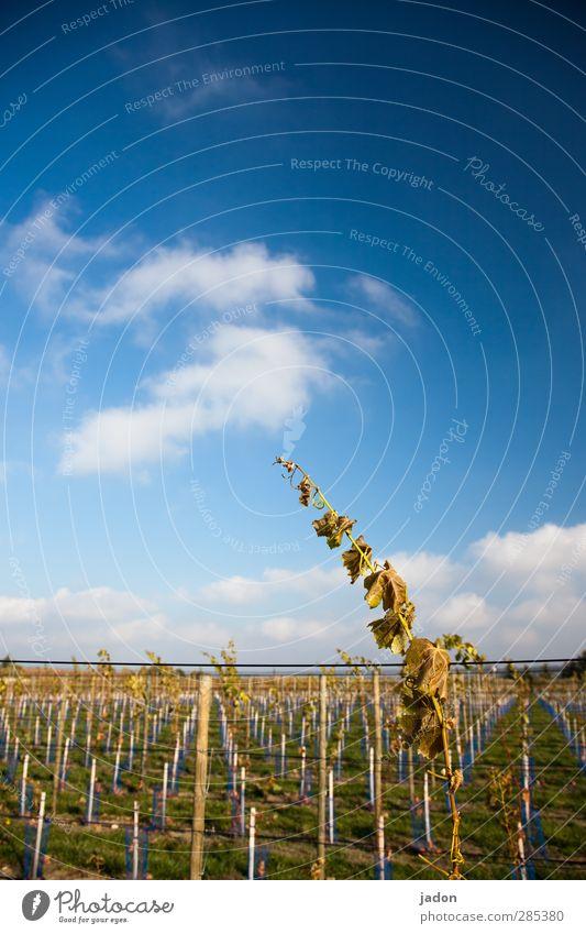 streber. Wein Landwirtschaft Forstwirtschaft Natur Himmel Herbst Schönes Wetter Pflanze Linie lang blau elegant Kraft Wachstum Weinberg Blatt Wolken