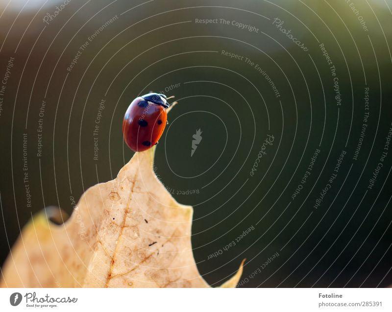Das ist der Gipfel! ;-) Umwelt Natur Pflanze Tier Herbst Schönes Wetter Blatt hell klein natürlich braun grün rot schwarz Marienkäfer Klettern krabbeln
