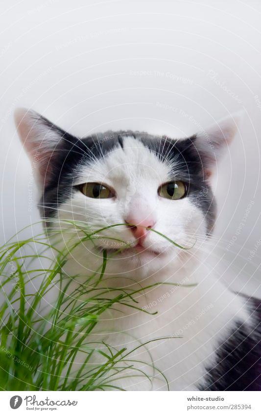 Frecher Typ Katze Neugier Kater Katzenbaby Katzenauge Katzenfreund Katzenohr Porträt Gras verstecken grün Zwinkern Junge schlitzohrig Schlitzohr Schlitzauge