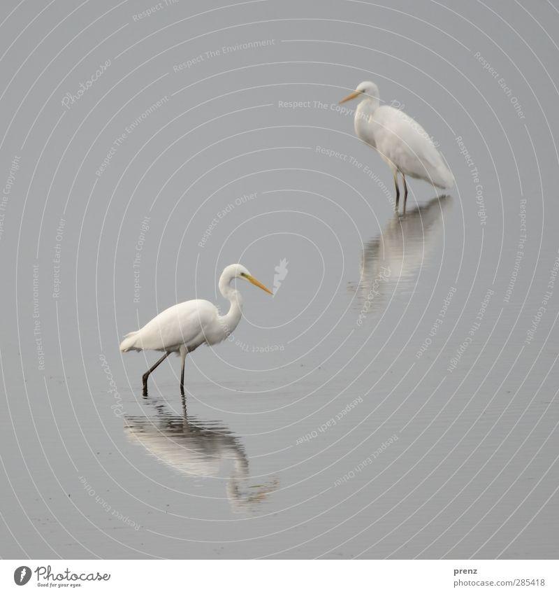 stilles wasser Natur weiß Tier ruhig Umwelt grau Vogel Reiher Silberreiher