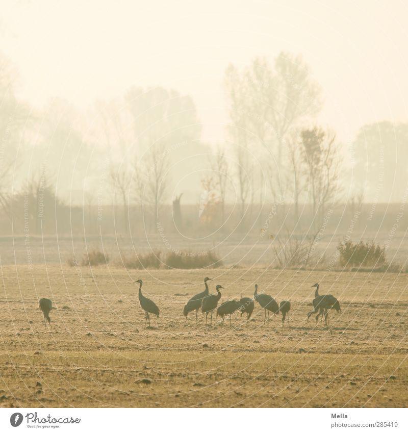 Guten Morgen Umwelt Natur Landschaft Tier Wiese Feld Vogel Kranich Tiergruppe stehen Zusammensein natürlich Idylle mehrere kalt Farbfoto Außenaufnahme