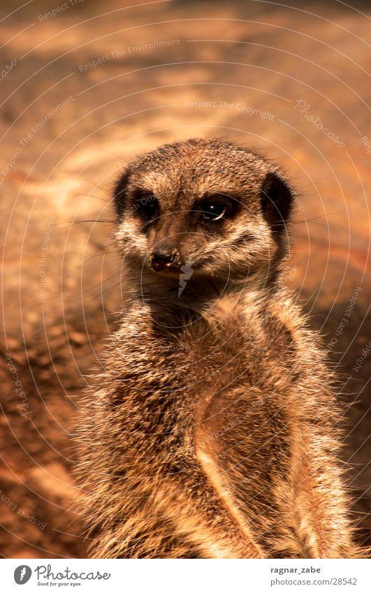 erdmann Tier beobachten Neugier Fell Afrika Zoo Nutztier faulenzen Partizipation Kebab Erdmännchen Tiergarten Zugtier Beuteltiere