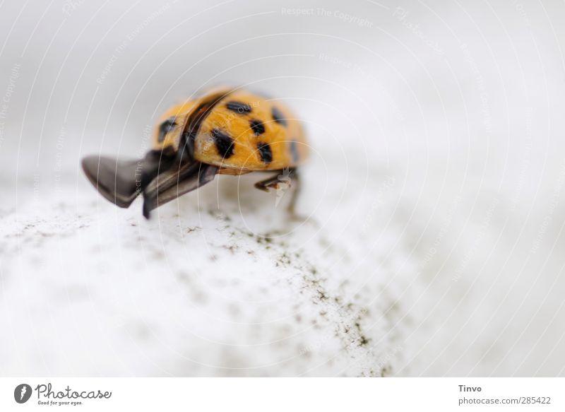Marienkäfer Flügel sind zu sehen Tier Käfer 1 grau orange schwarz Einsamkeit Landen Insekt zart klein Punkt gehen Farbfoto Außenaufnahme Menschenleer