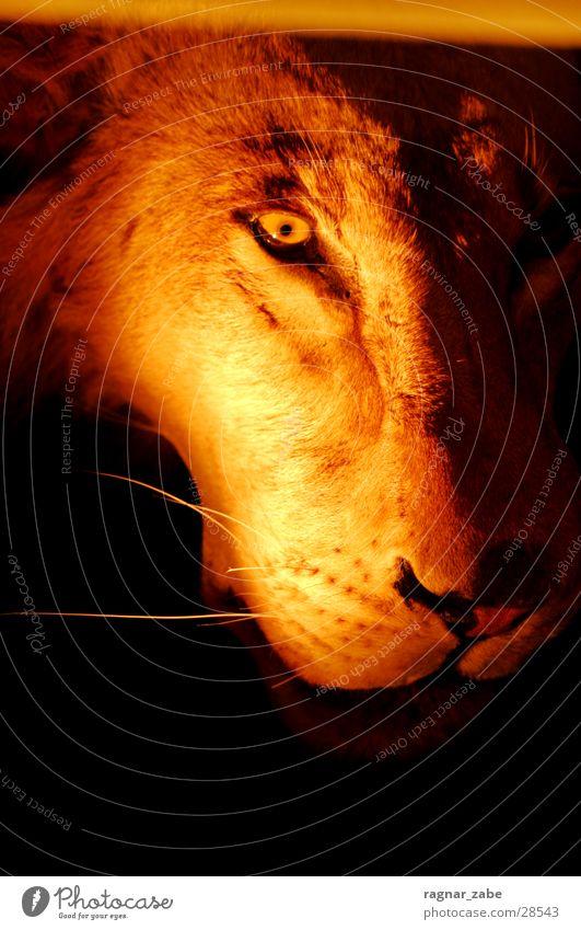 better open your eyes gefährlich Zoo erleuchten Löwe Löwin