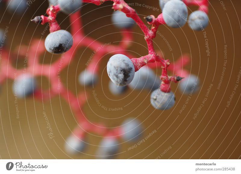 traubenmoleküle Lebensmittel Frucht Weintrauben Umwelt Natur Pflanze Nutzpflanze dünn authentisch einfach frisch klein natürlich rund sauer wild blau rot