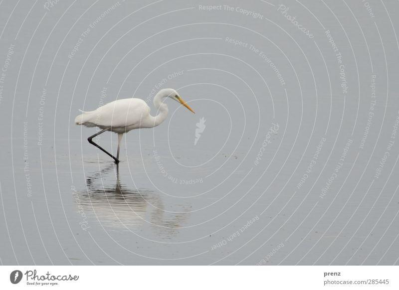 seegang Umwelt Natur Tier Wildtier Vogel 1 grau weiß Reiher Silberreiher Schreitvögel Reflexion & Spiegelung Farbfoto Außenaufnahme Menschenleer