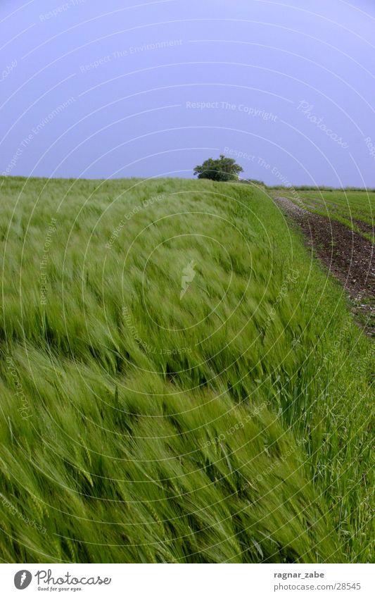 green green gerste grün Sommer Münster Gerste Roggen