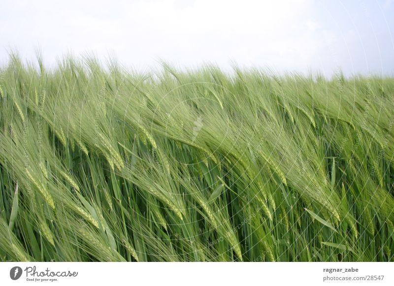 green grün Frühling Getreide Gerste Roggen