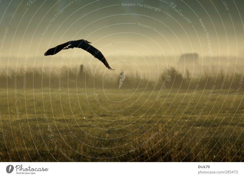 Reiher im Flug mit Kuh im Morgennebel Landwirtschaft Forstwirtschaft Natur Landschaft Nebel Gras Sträucher Wiese Feld Weide Zaun Weidezaun Tier Wildtier Vogel