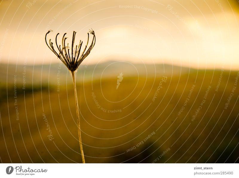 Sonnenanbeter Natur Ferien & Urlaub & Reisen Pflanze ruhig Erholung gelb Herbst Tod Gras Traurigkeit braun gold Zufriedenheit ästhetisch Hoffnung Trauer