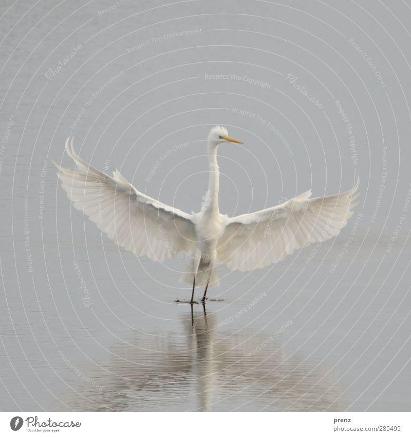 ganz in weiß Umwelt Natur Pflanze Tier Wildtier 1 grau Silberreiher Reiher Vogel See flattern Farbfoto Außenaufnahme Menschenleer Textfreiraum oben Tag