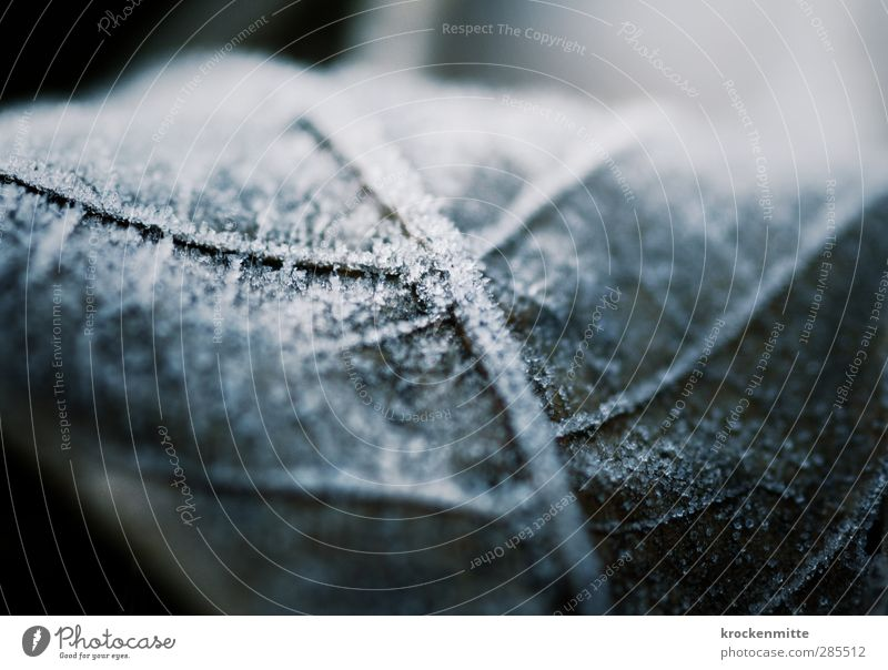 Auf eisiger Spur Natur Pflanze Eis Frost Blatt Grünpflanze kalt weiß Blattadern Blattgrün Eiskristall Winter Laubbaum gefroren glänzend Februar Raureif